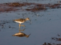 Lesser Yellow Legs/Nature Conservancy of Canada