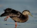 Canard noir/©Canards Illimités Canada