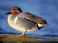 Green-winged Teal/©Ducks Unlimited Canada