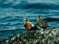 Couple d'arlequins plongeurs/©Canards Illimités Canada