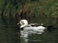 Long Tailed Duck/©Ducks Unlimited Canada