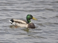 Mallard/©Ducks Unlimited Canada