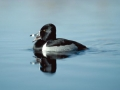 Ring-necked Duck/©Ducks Unlimited Canada
