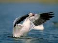 Snow Goose/©Ducks Unlimited Canada
