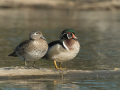 Wood Duck Pair/©Ducks Unlimited Canada/Blachas & Piché