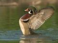 Wood Duck/©Ducks Unlimited Canada/Blachas & Piché