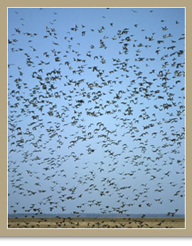 Blue-winged Teal and Mallards/. ©Ducks Unlimited Canada