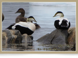 Male and Female Common Eiders in Table Bay Labrador