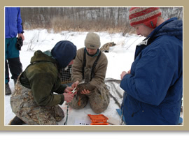 Black Duck Banding/Canadian Wildlife Service