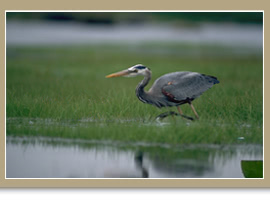 Great Blue Heron/©Ducks Unlimited Canada