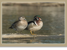 WoodDuckPair