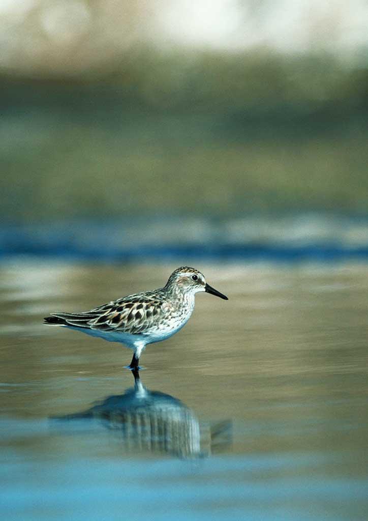 Semipalmated Shorebird