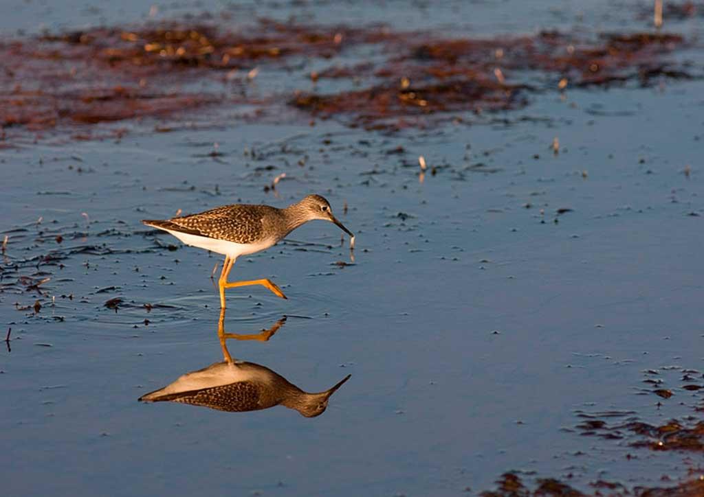 Greater Yellow Legs, Prince Edward Island